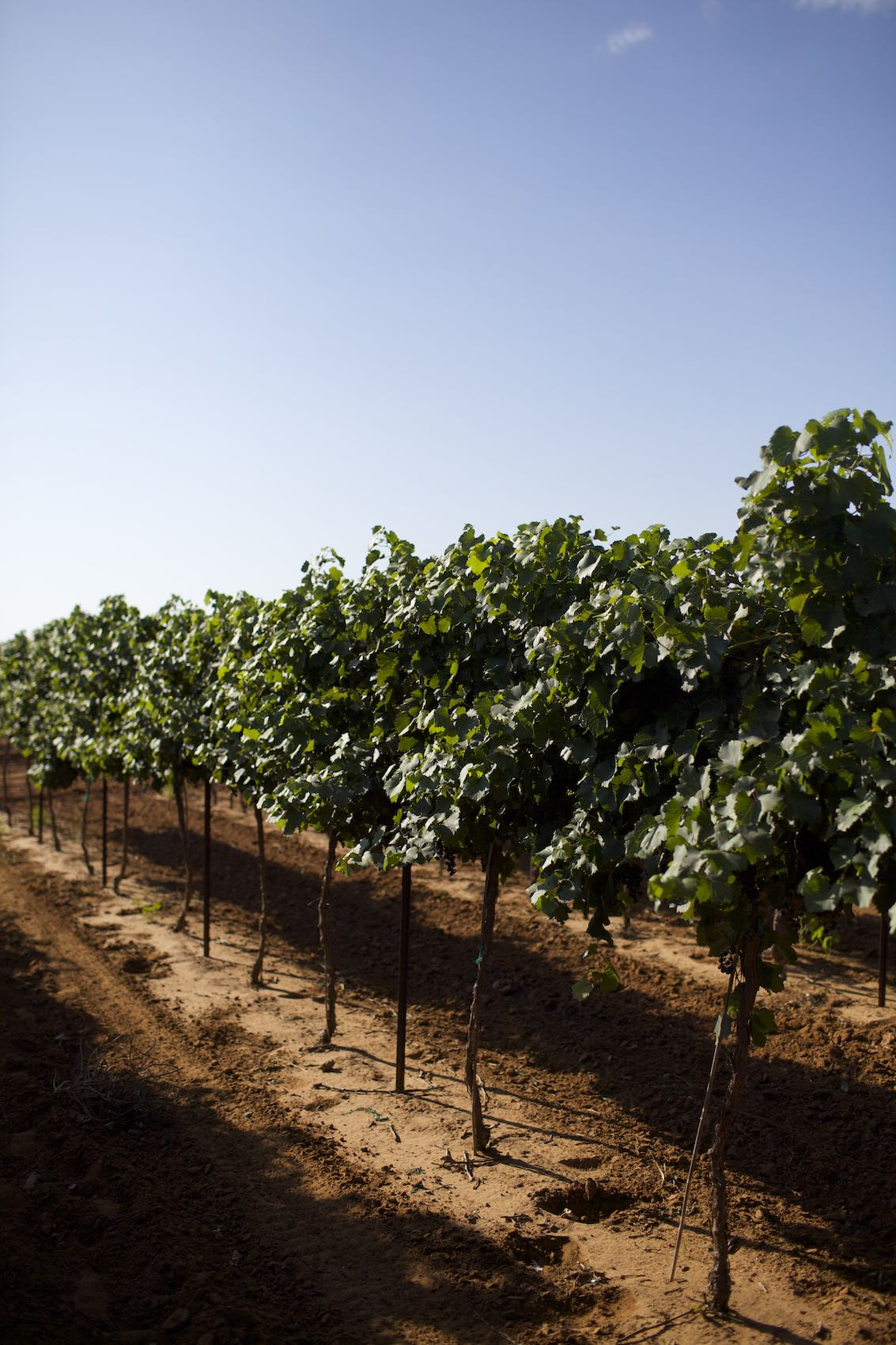 Jody Horton Photography - Rows of grape vines at Bigham Family Farms, Muleshoe, TX.