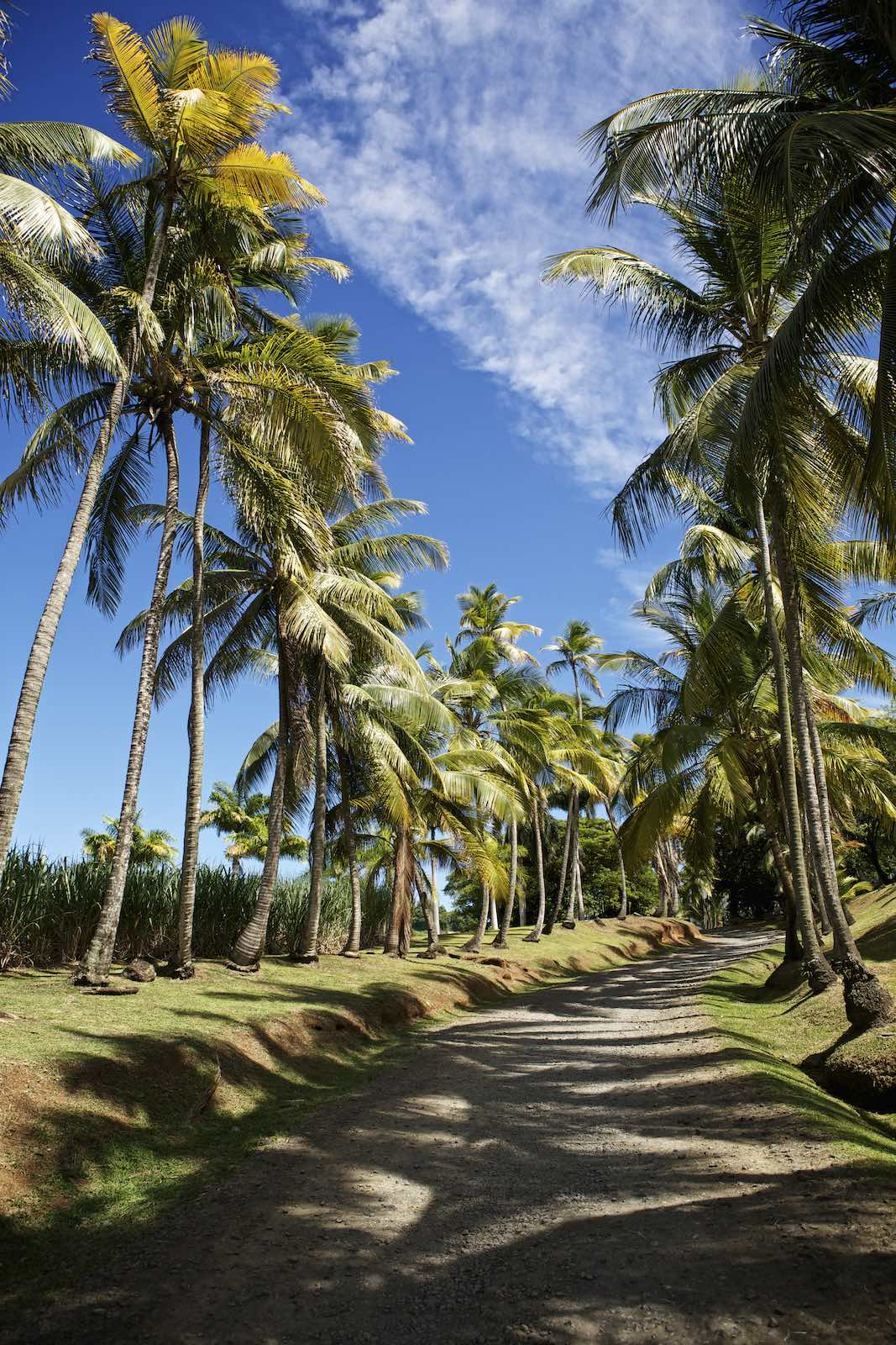 A sunny, dirt road lined with towering palm trees.