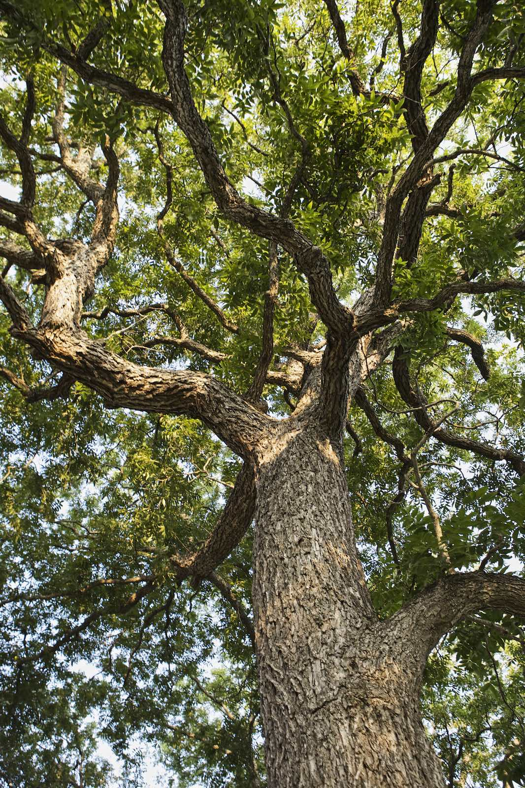 Jody Horton Photography - The canopy of an ancient Texas pecan tree.