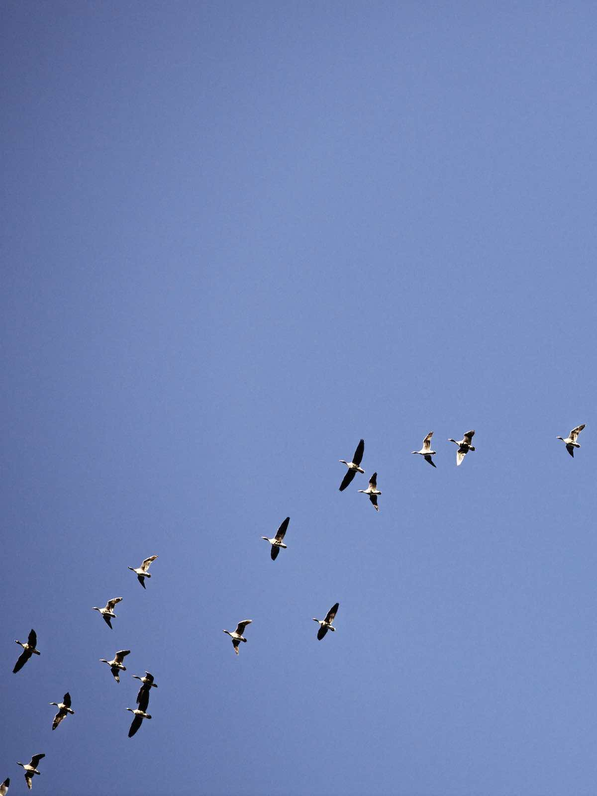 Jody Horton Photography - Ducks flying across a blue sky.