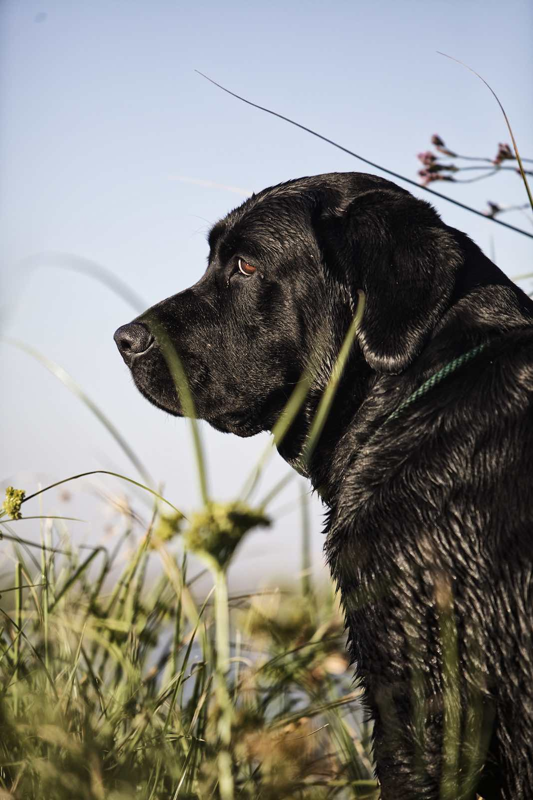 Jody Horton Photography - Wet black lab sitting in tall grass.