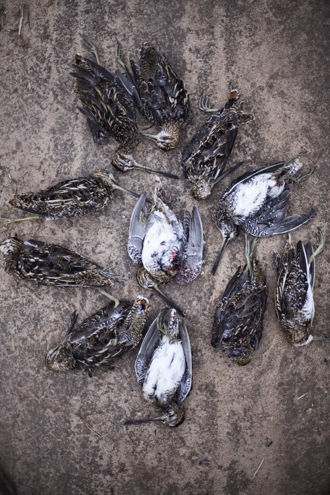 Jody Horton Photography - Dead Snipes collected together on the ground.