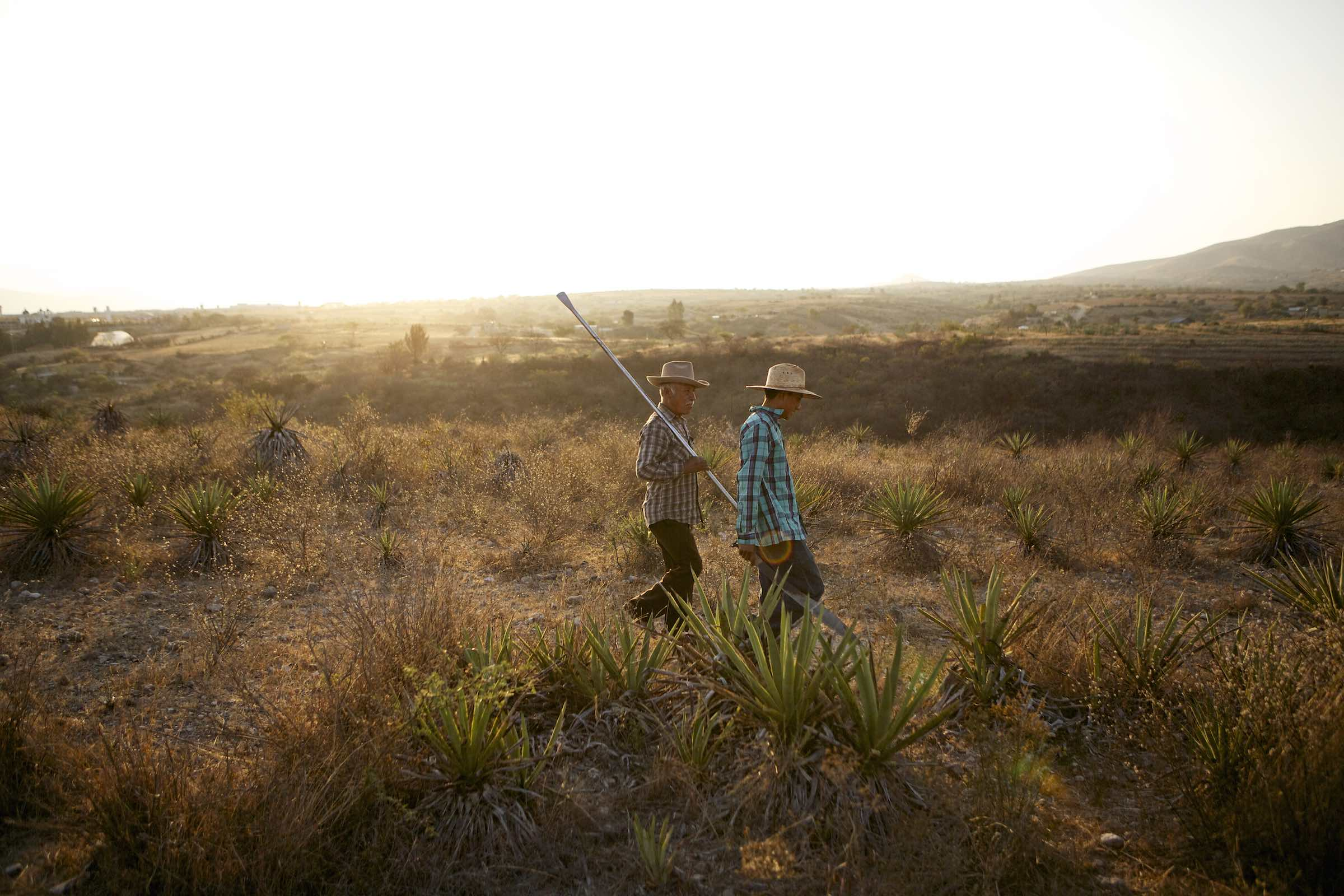 Farmers harvesting agaves.
