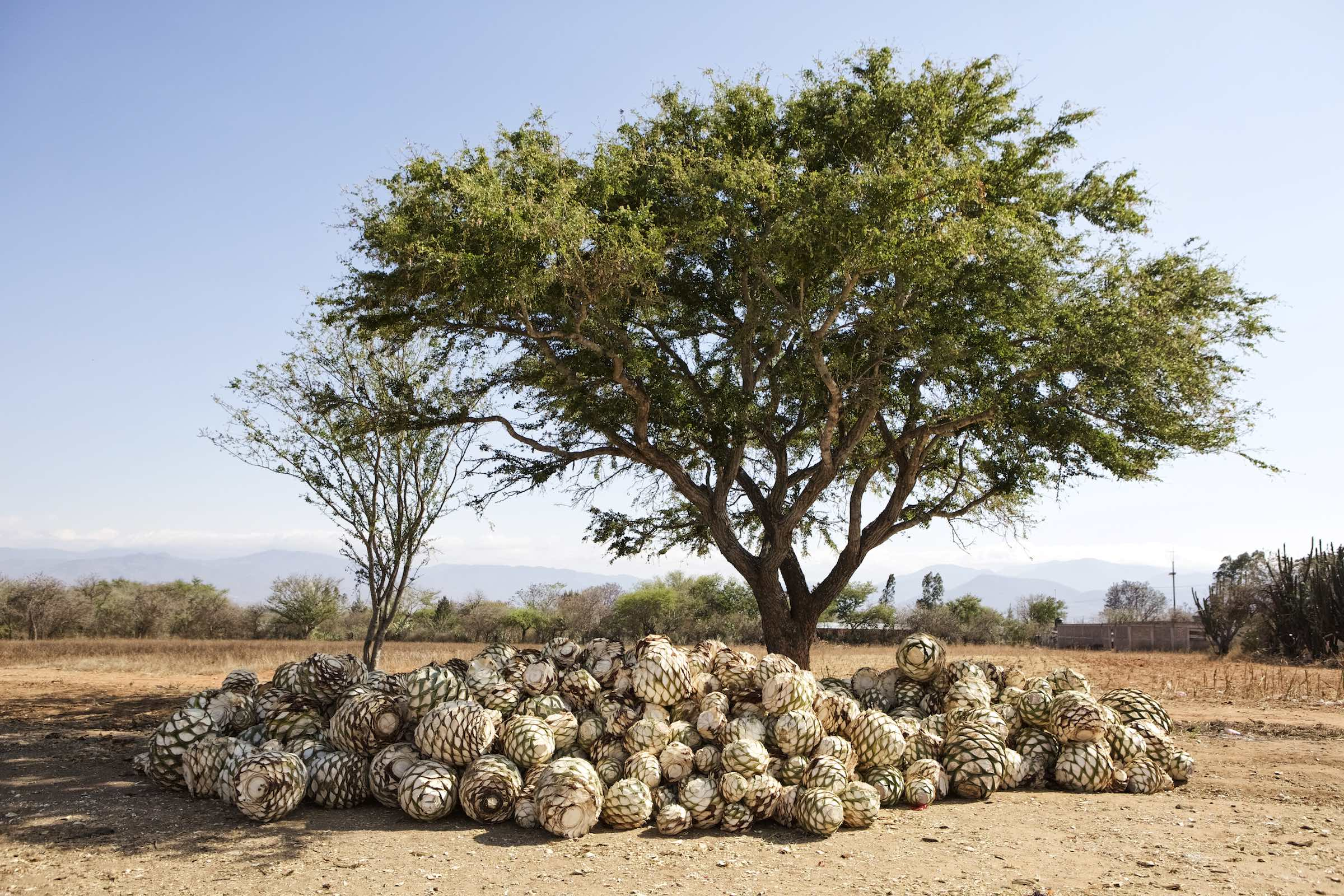 Agave hearts piled together during mezcal production.