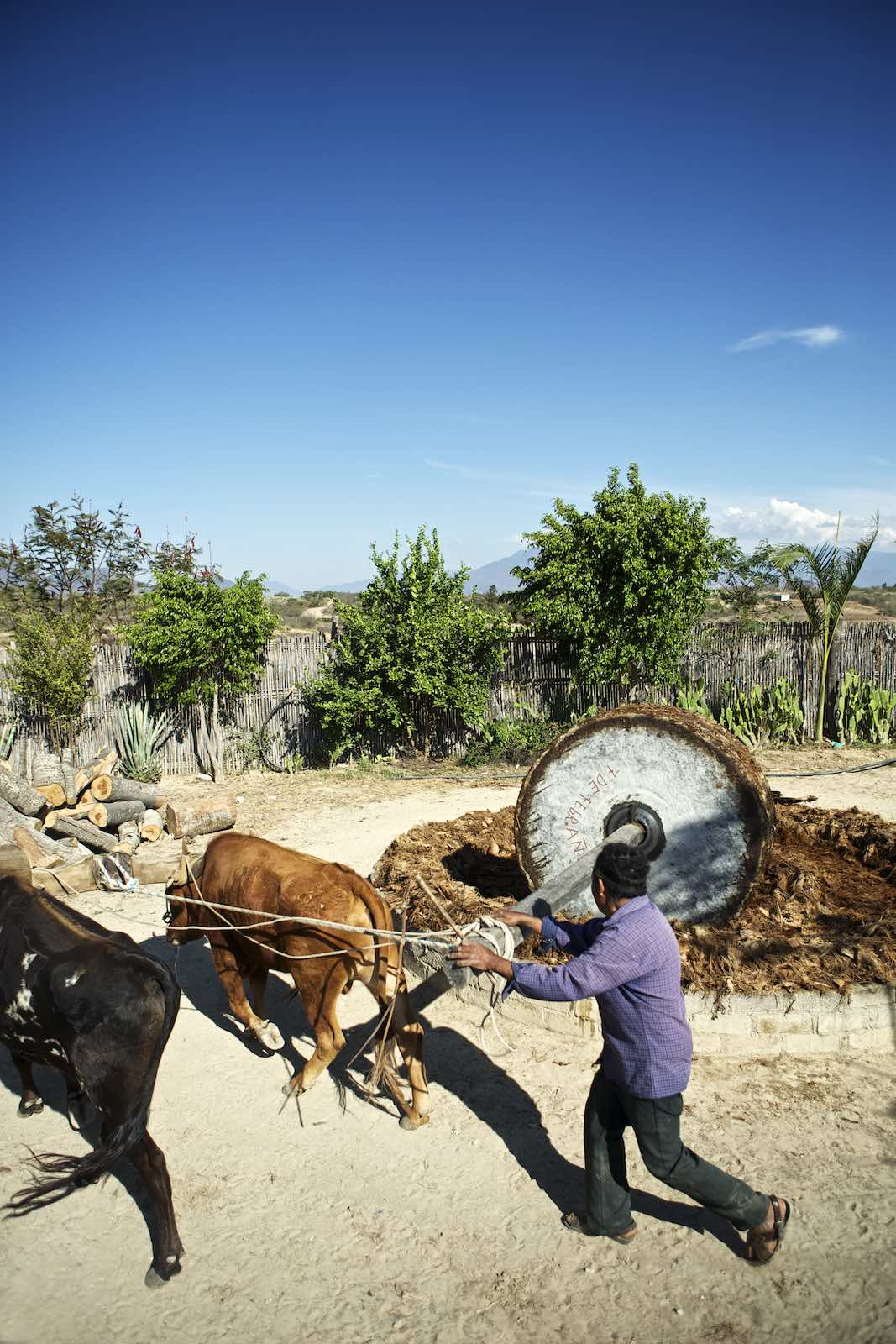Piñas are crushed using a stone wheel pulled by cows.