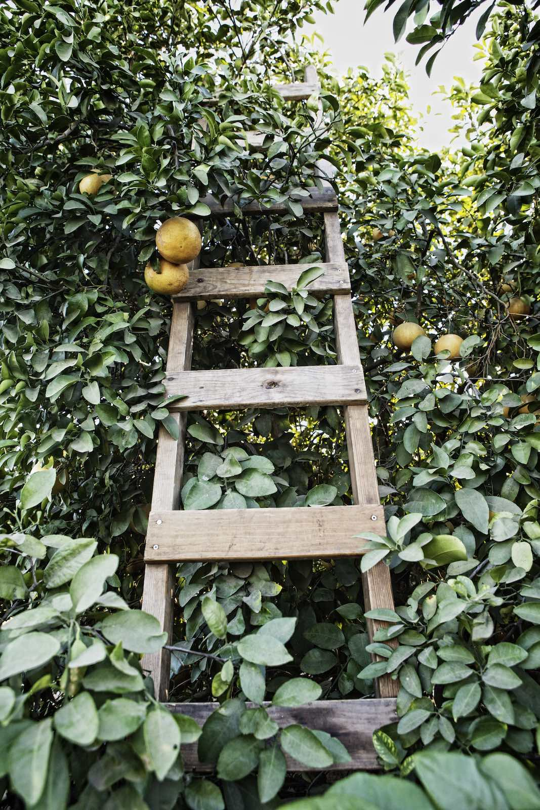 grapefruit_harvest_photography1