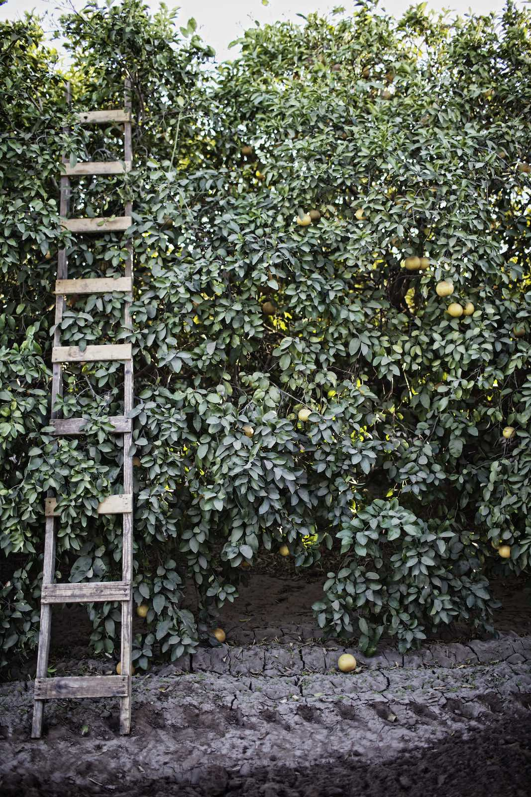 Jody Horton Photography - Wooden ladder leaning against a dense grove of grapefruit trees.