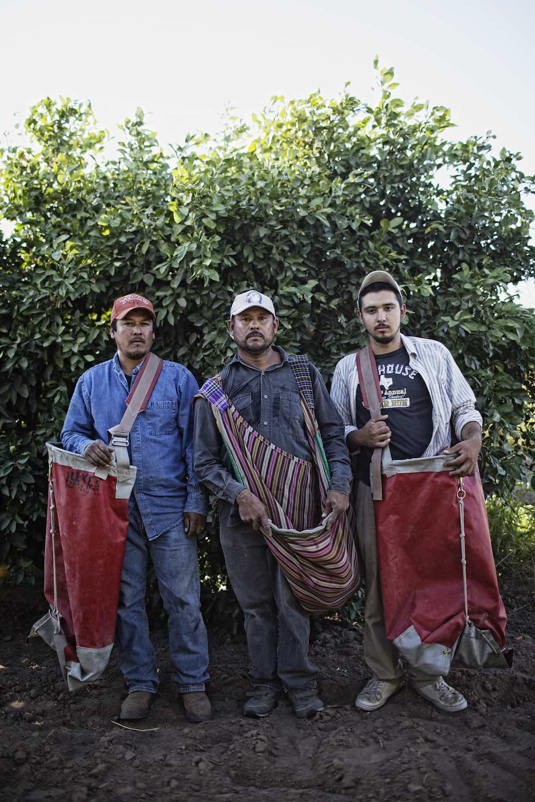 Grapefruit farmers standing among the trees, holding sacks for picking.