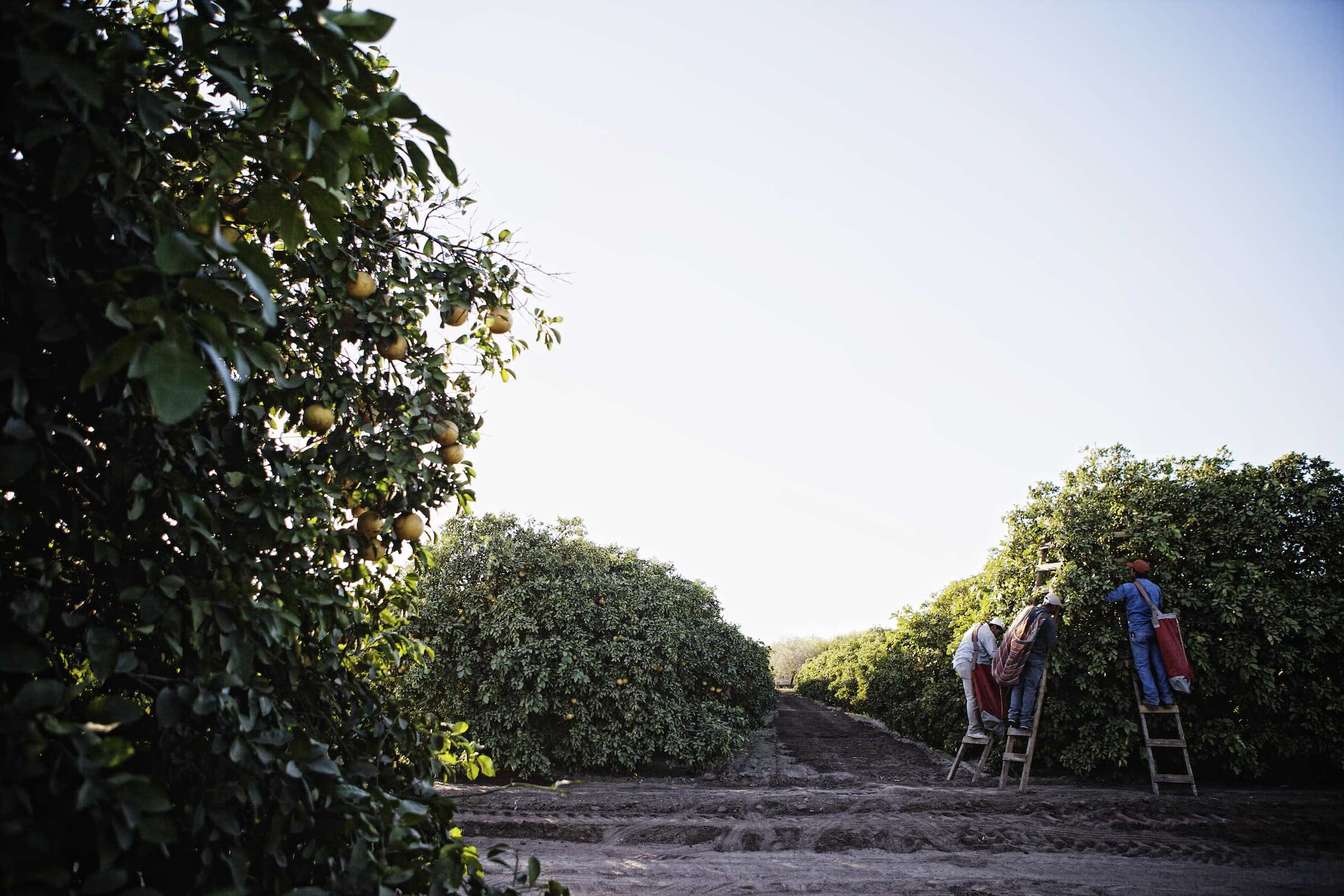 grapefruit_harvest_photography14