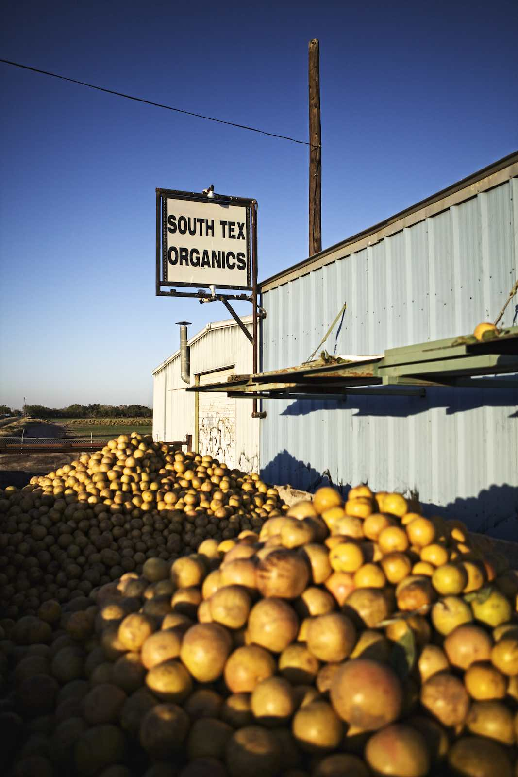 Grapefruits piled outside a steel building, ready to be harvested.