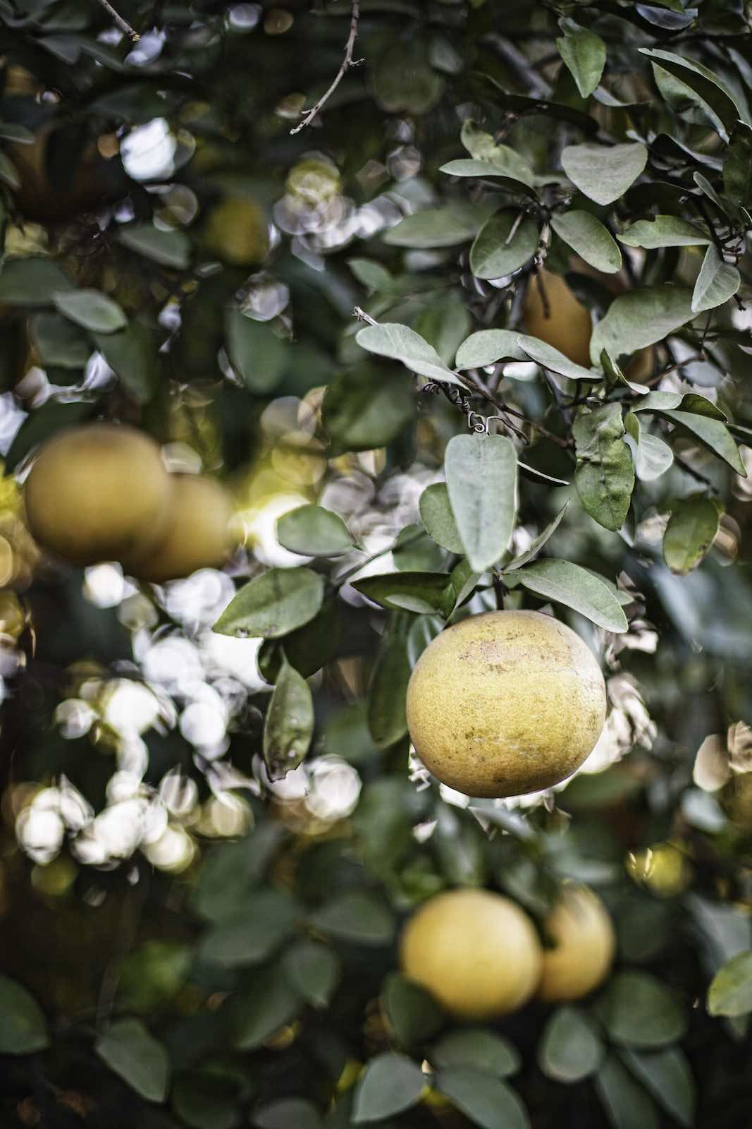 grapefruit_harvest_photography2