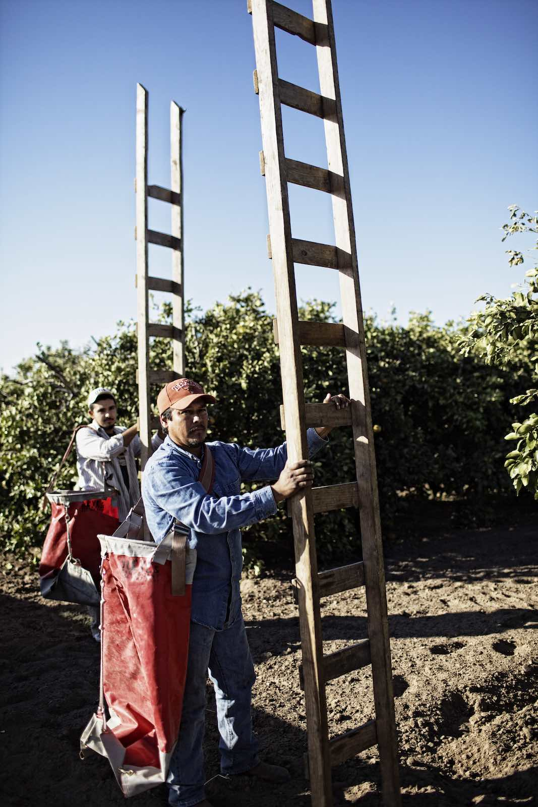 Jody Horton Photography - Grapefruit farmers hauling wood ladders through the orchard.