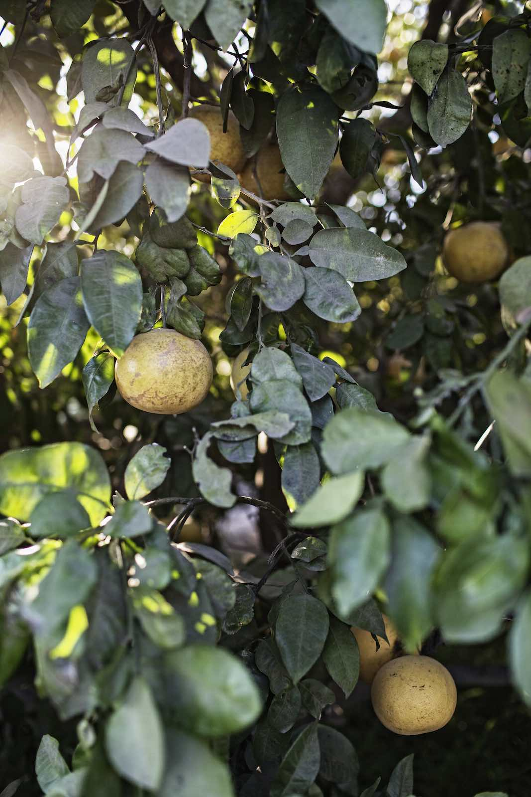 Grapefruits hanging from  a tree.