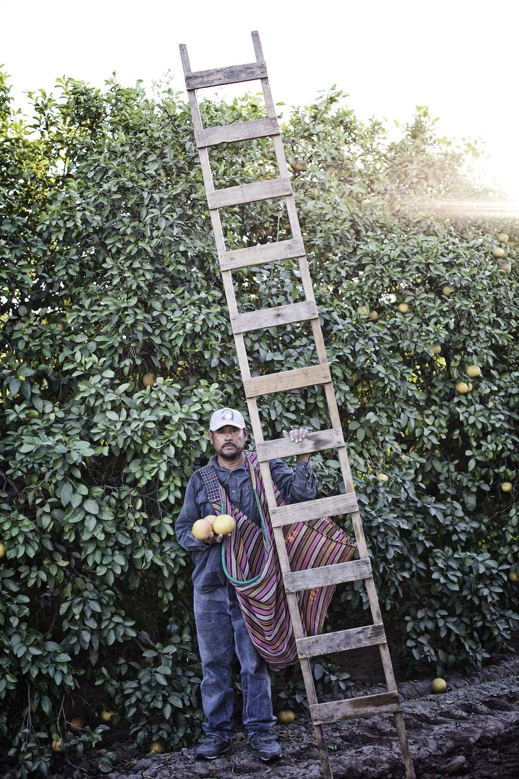 Jody Horton Photography - Grapefruit farmer hold a wood ladder and freshly picked grapefruits.