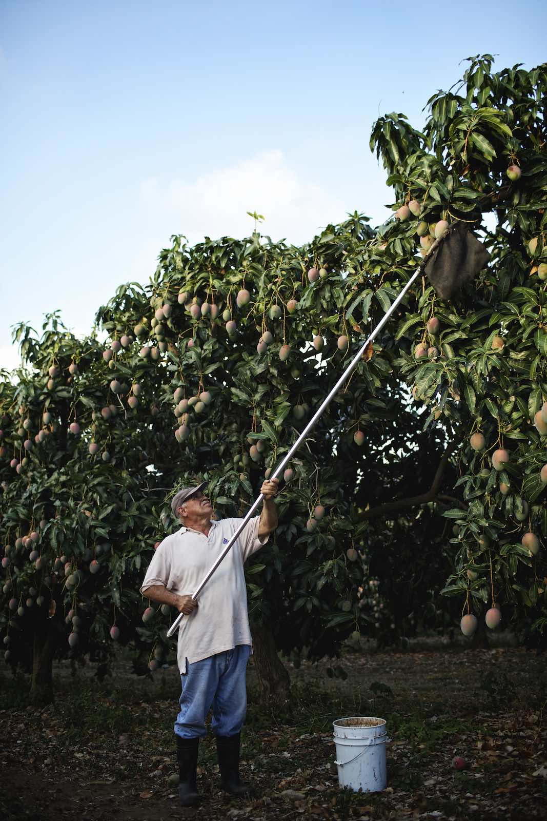 Farmer using a long pole to pick mangos from the tops of trees.