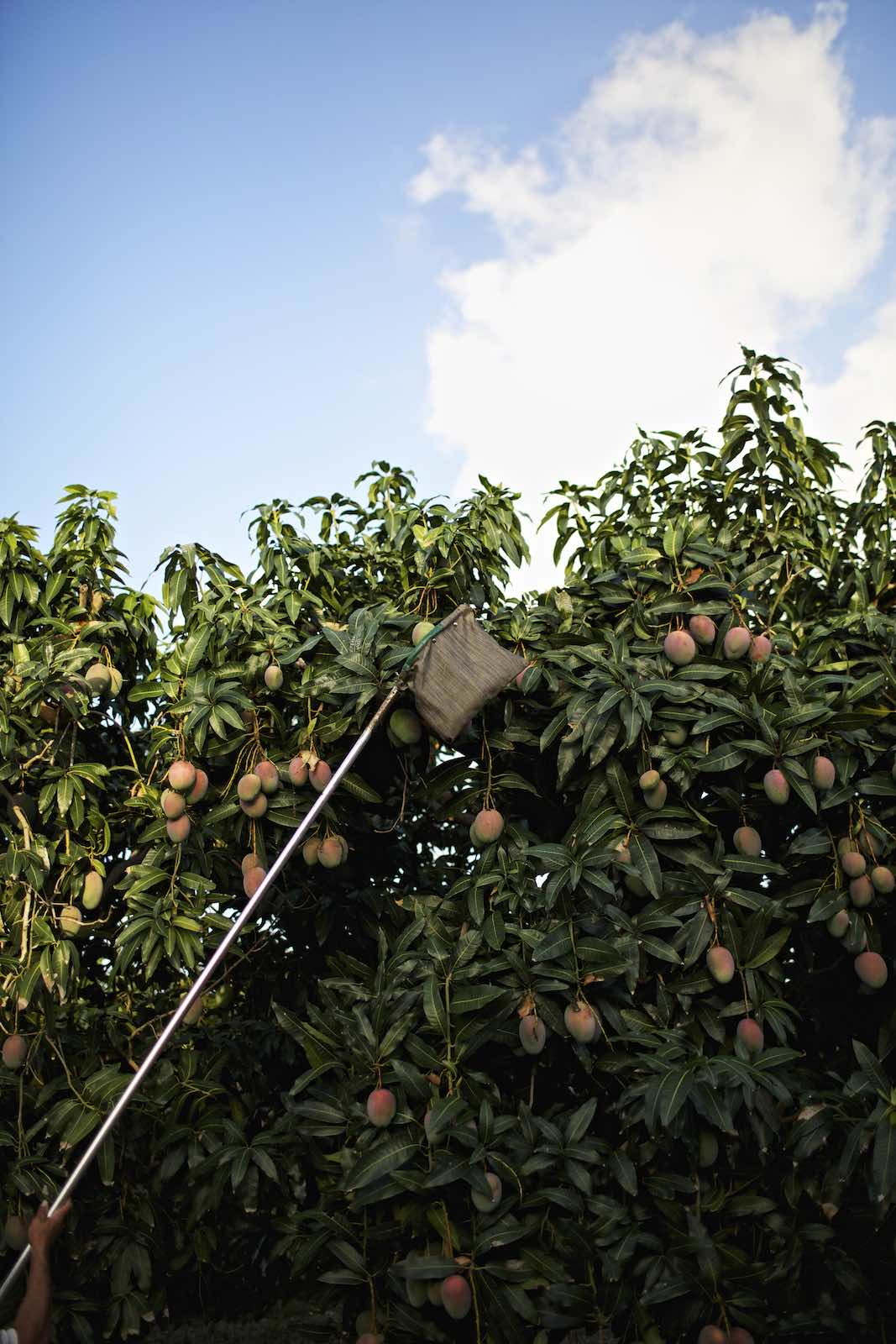 Jody Horton Photography - Mangos being picked for harvest.