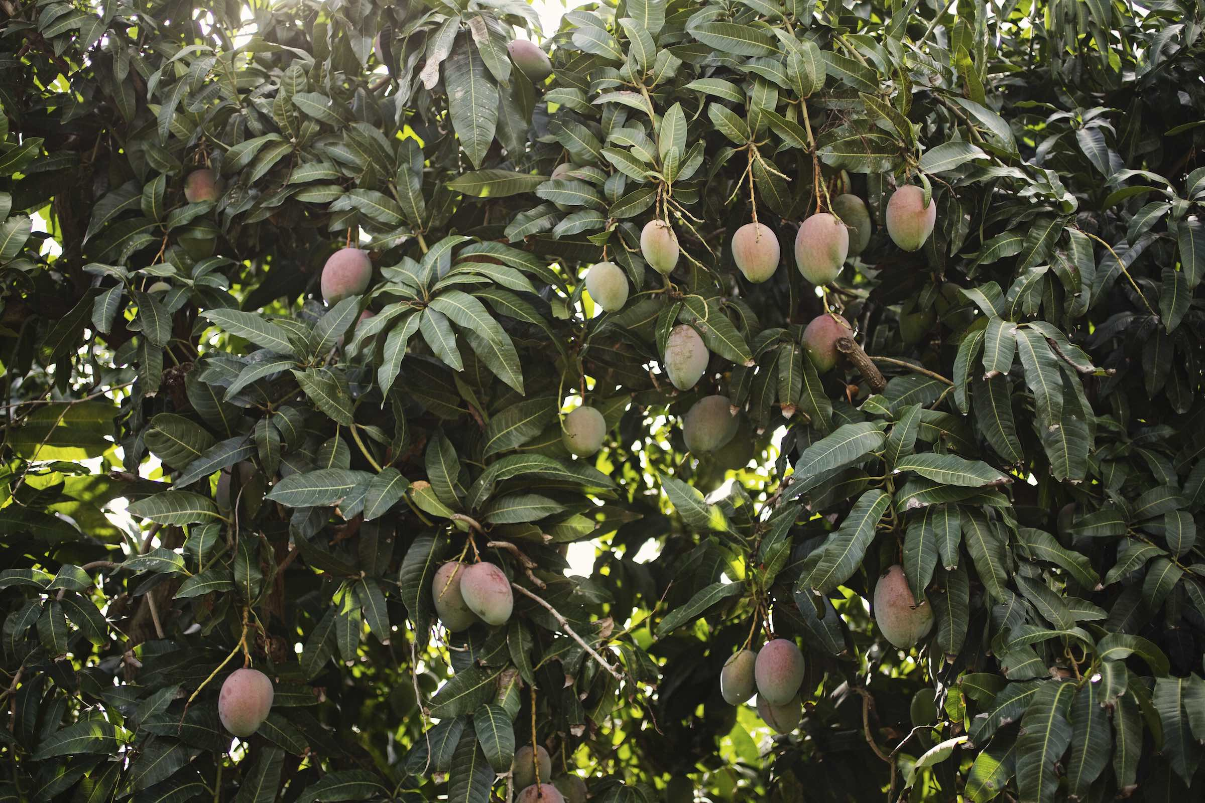 Jody Horton Photography - Mangos hanging from a tree, ready to harvest.