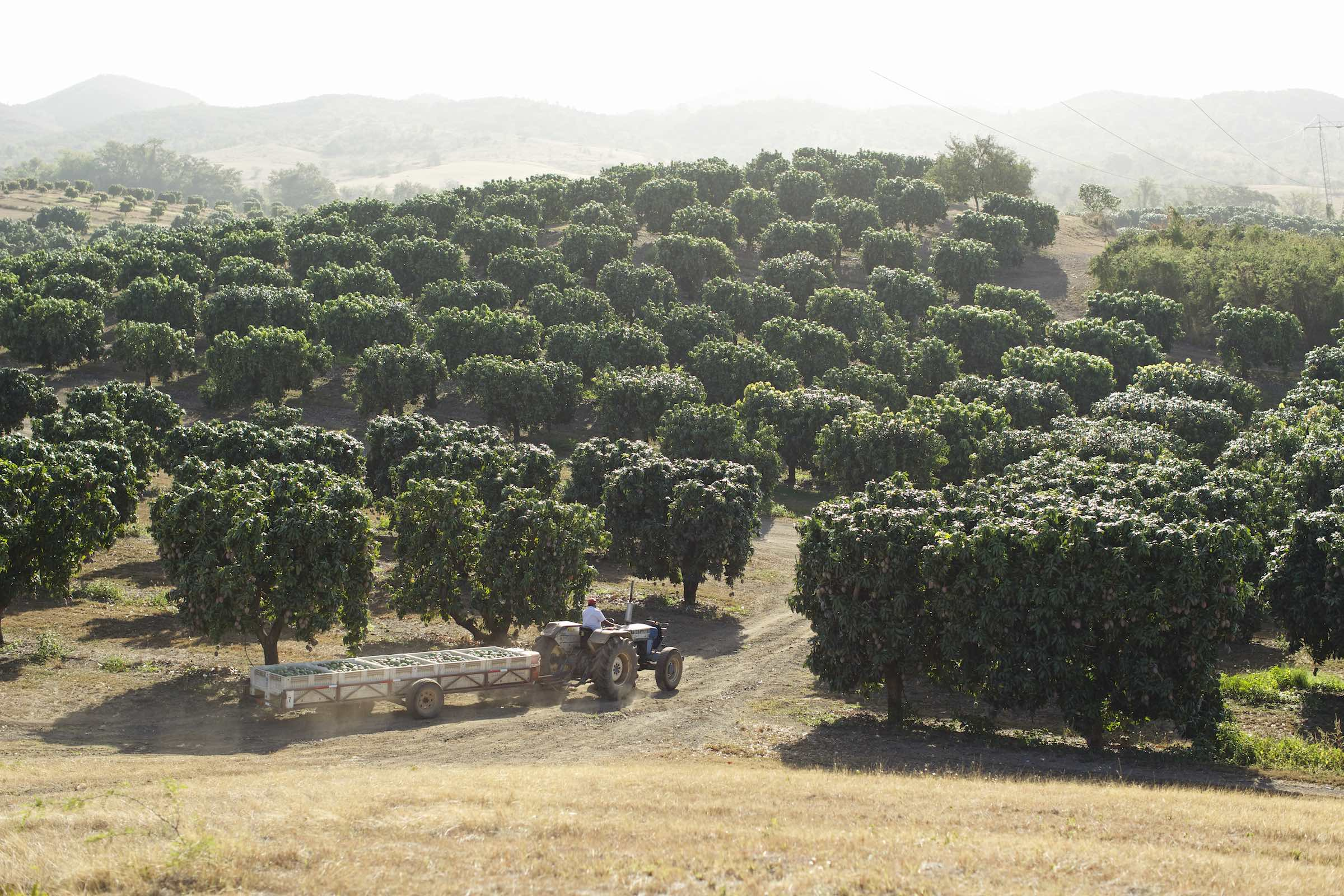 Jody Horton Photography - Tractor hauling crates of mangos, driving through a sunny orchard.