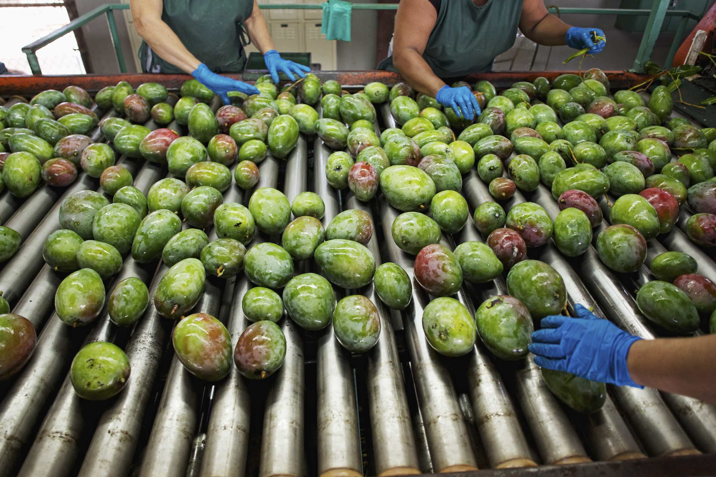 Jody Horton Photography - Mangos being cleaned and stemmed on a factory line.