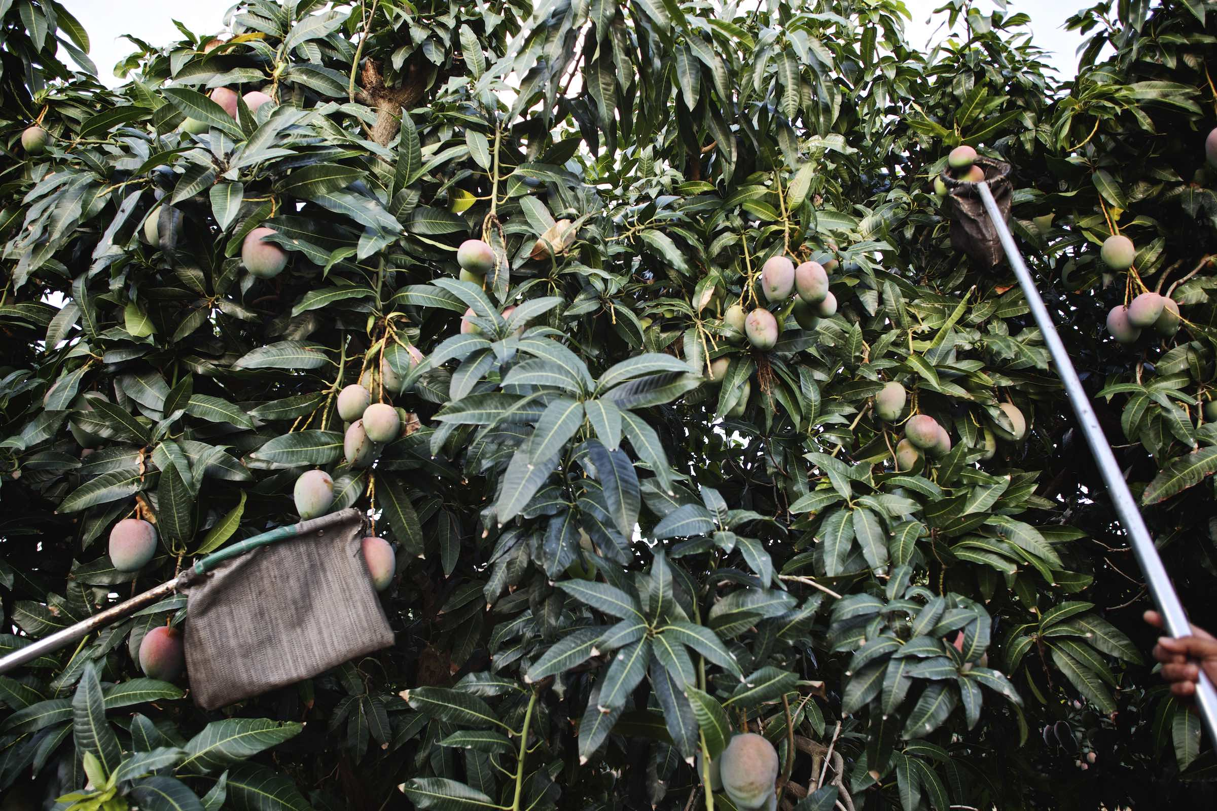 Mangos being picked for harvest.