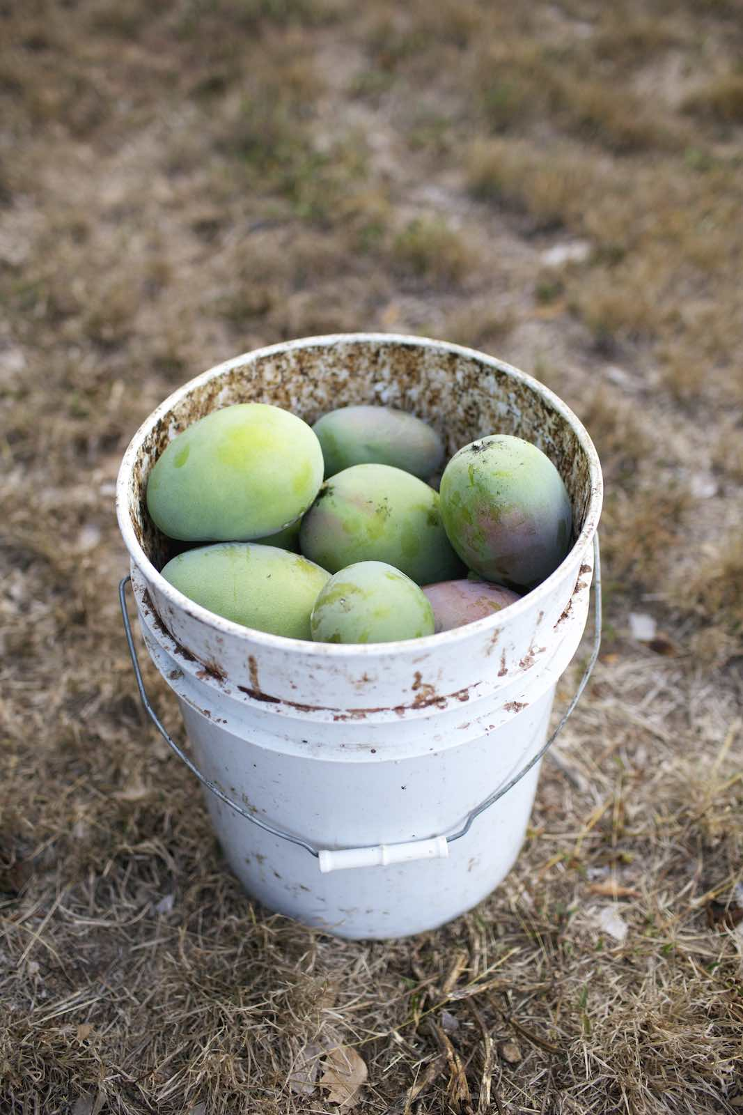 Jody Horton Photography - A white bucket of freshly picked mangos.