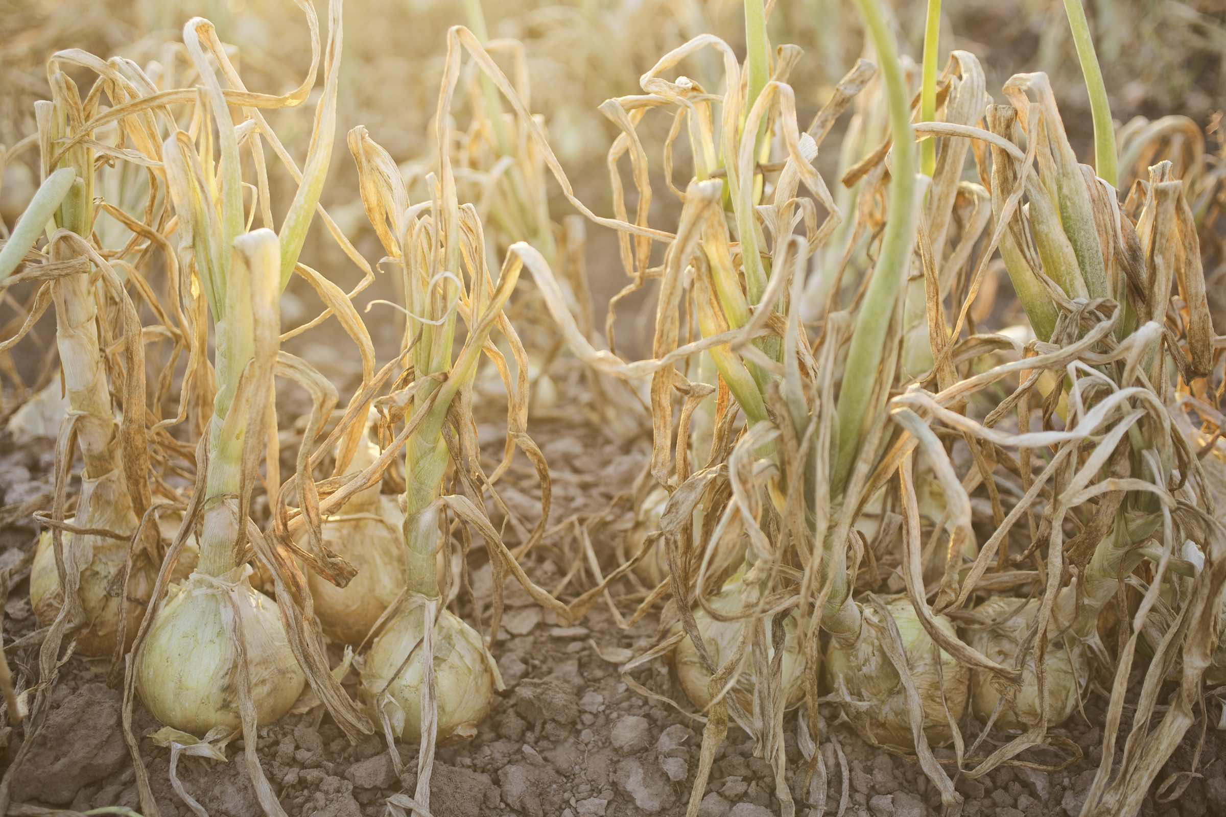 onion_harvest_photography16