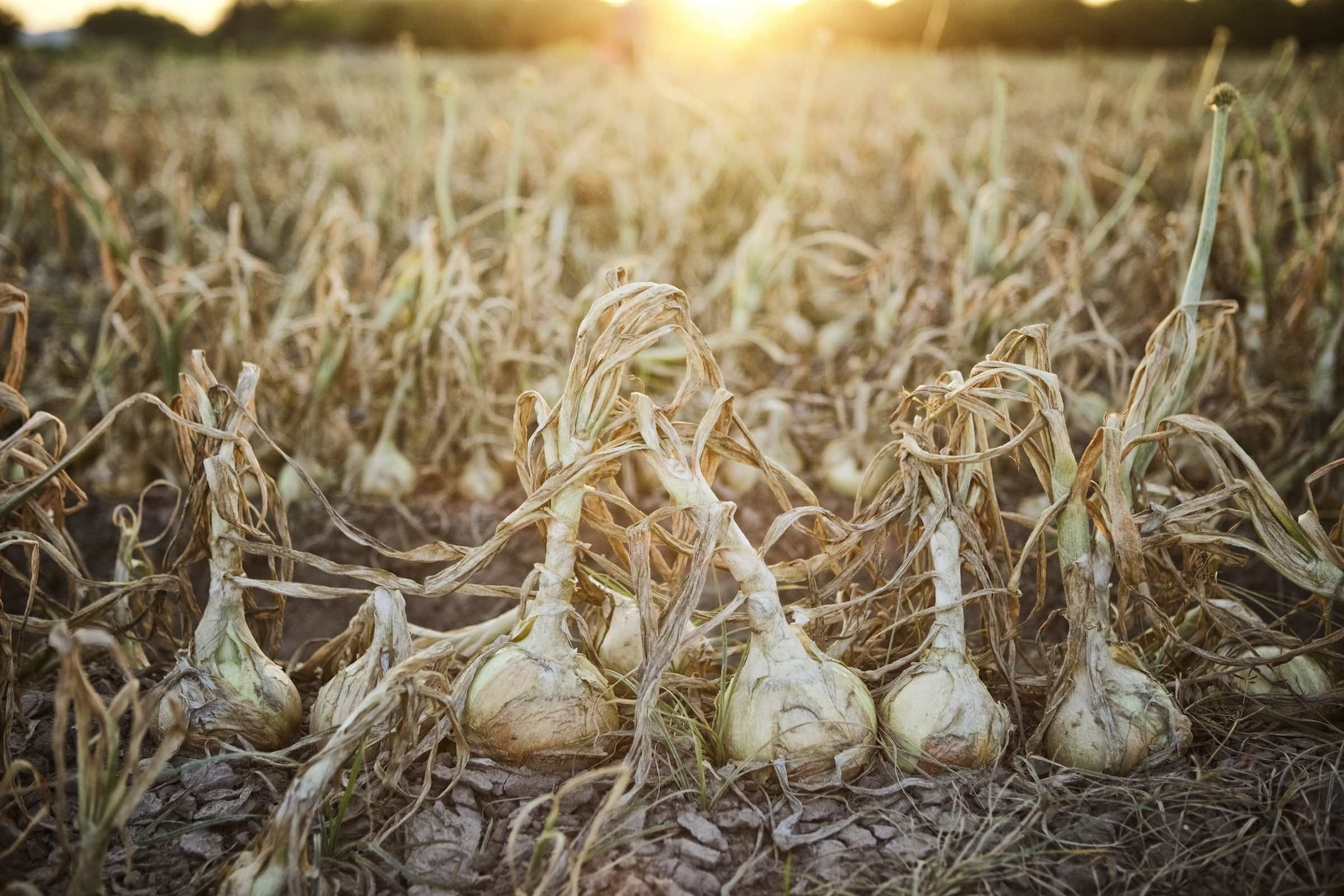 Jody Horton Photography - Onions growing in soil, ready to harvest.