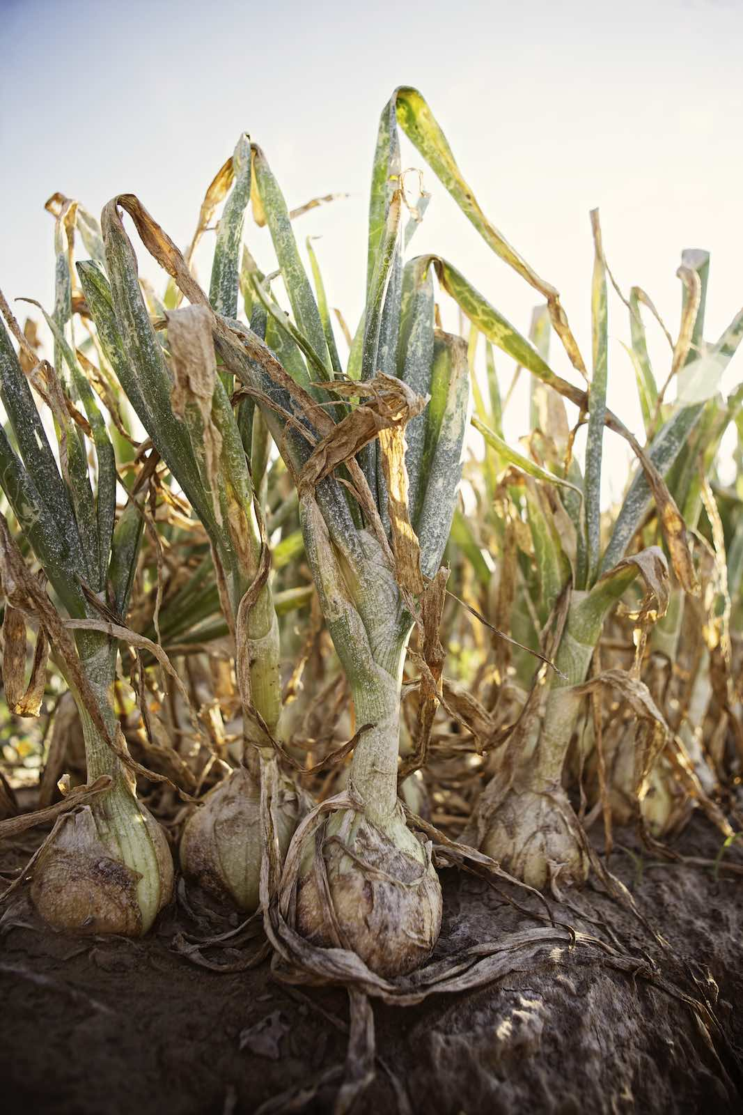 Onions growing in soil, ready to harvest.