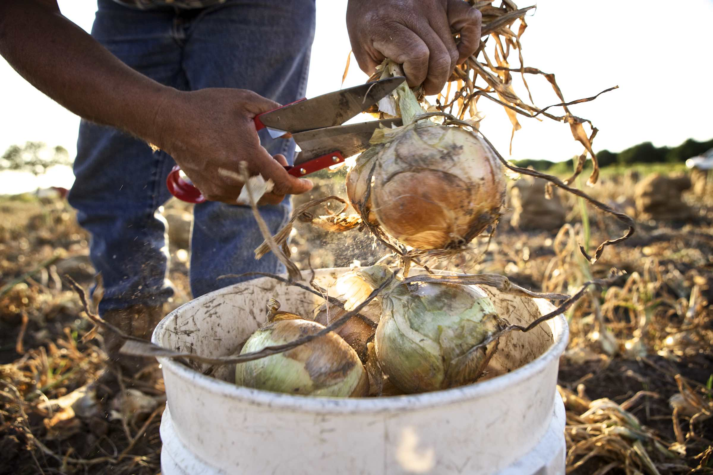 Jody Horton Photography - Farmer using large sheers to trim onions.