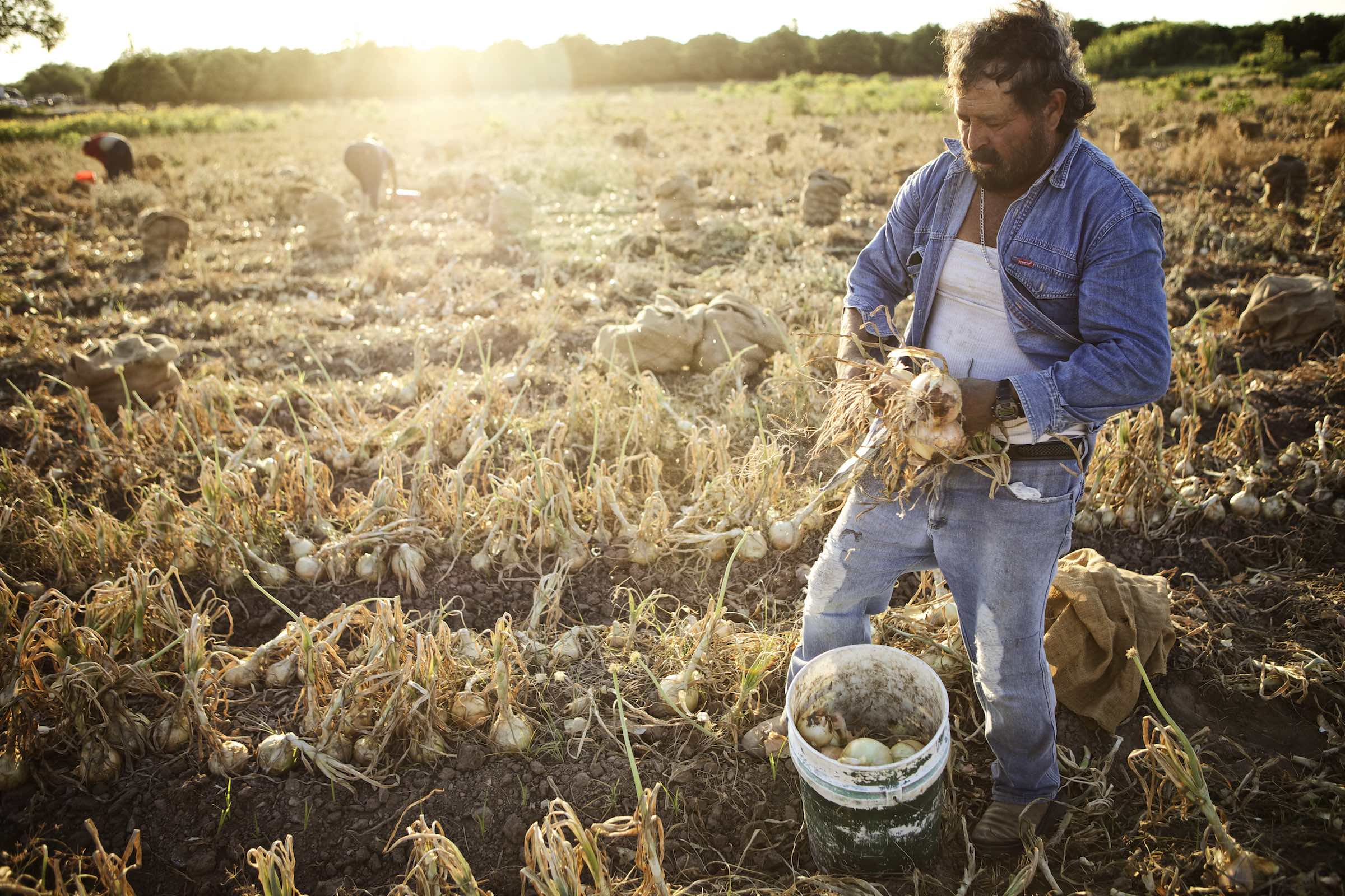 Jody Horton Photography - Farmer taking onions from the soil and placing them in a  bucket.