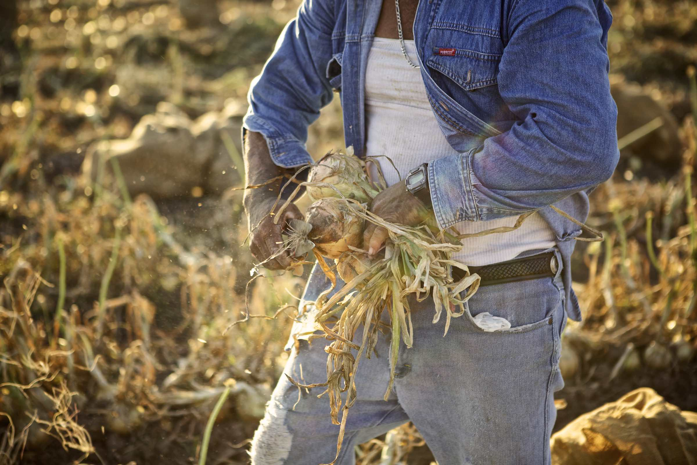 onion_harvest_photography8