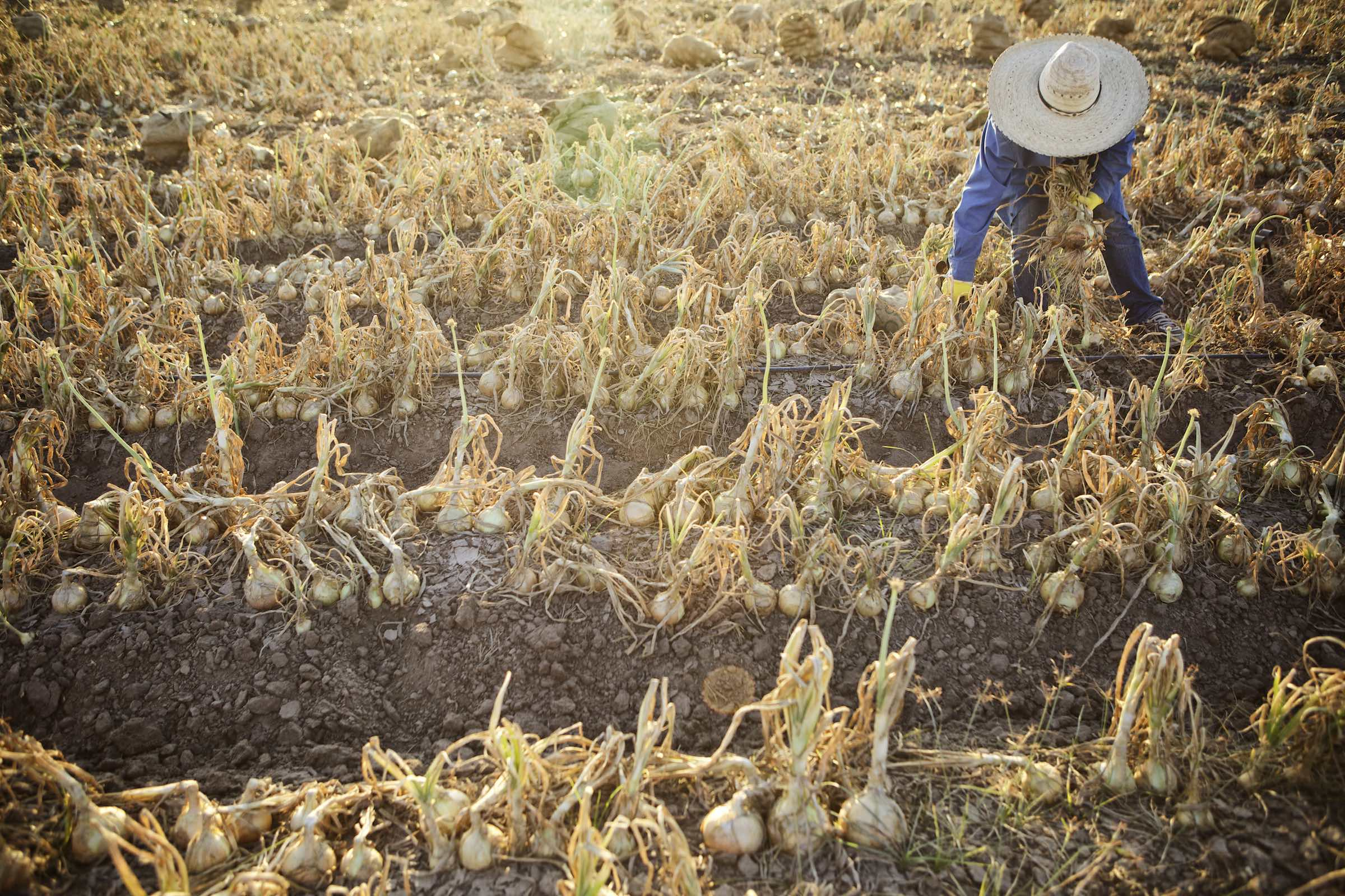 Jody Horton Photography - Farmer harvesting rows of onions.