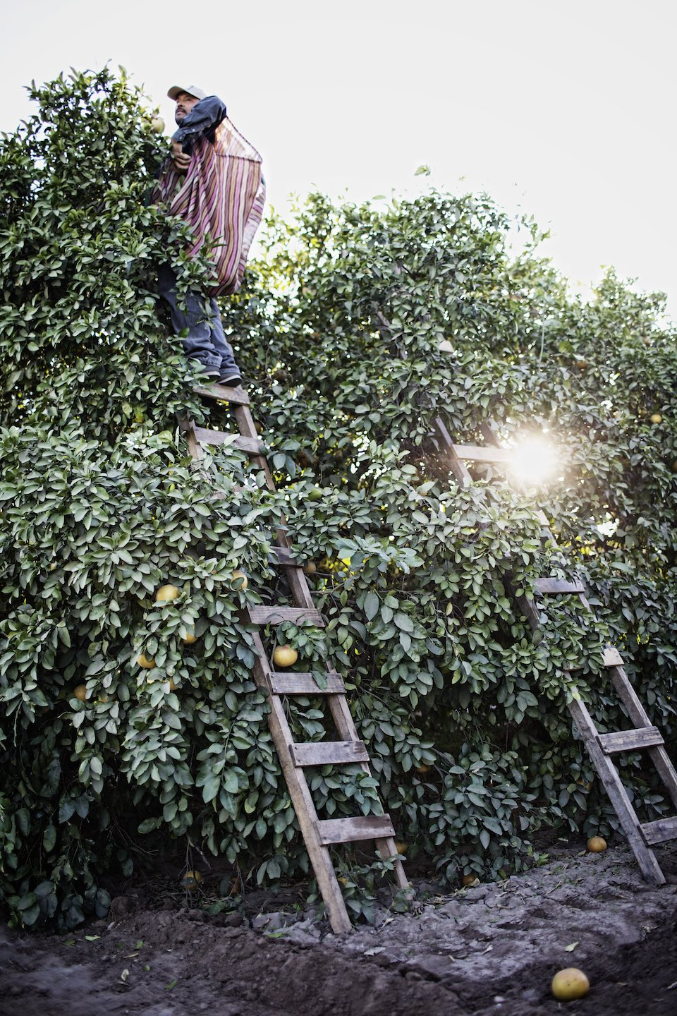 Farmer standing on a wood ladder at the top of an orange tree.
