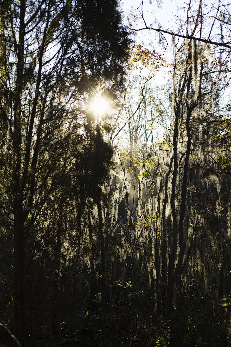 Sun shining through moss covered trees.