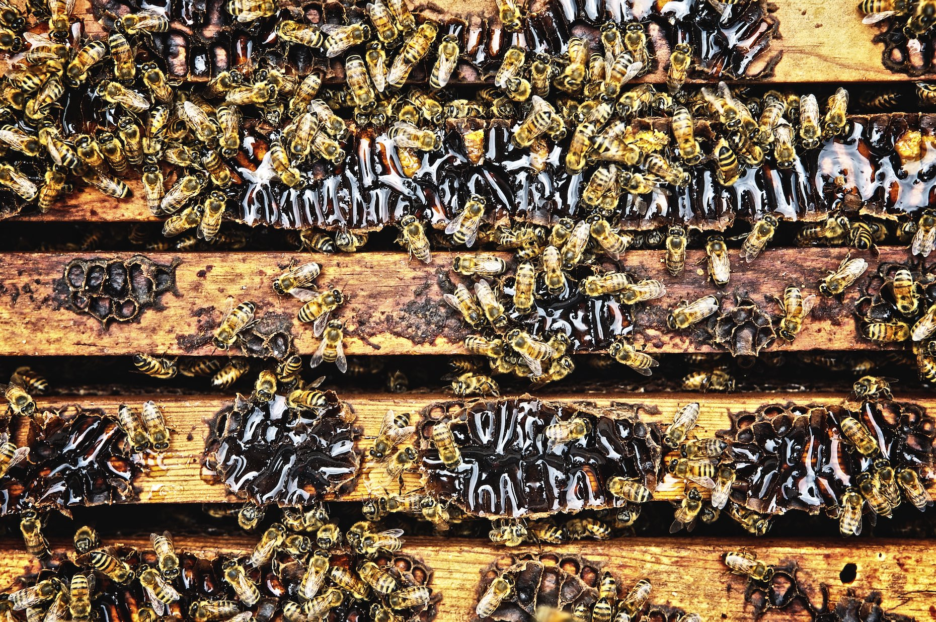 Honeybees making honey in a wooden hive.