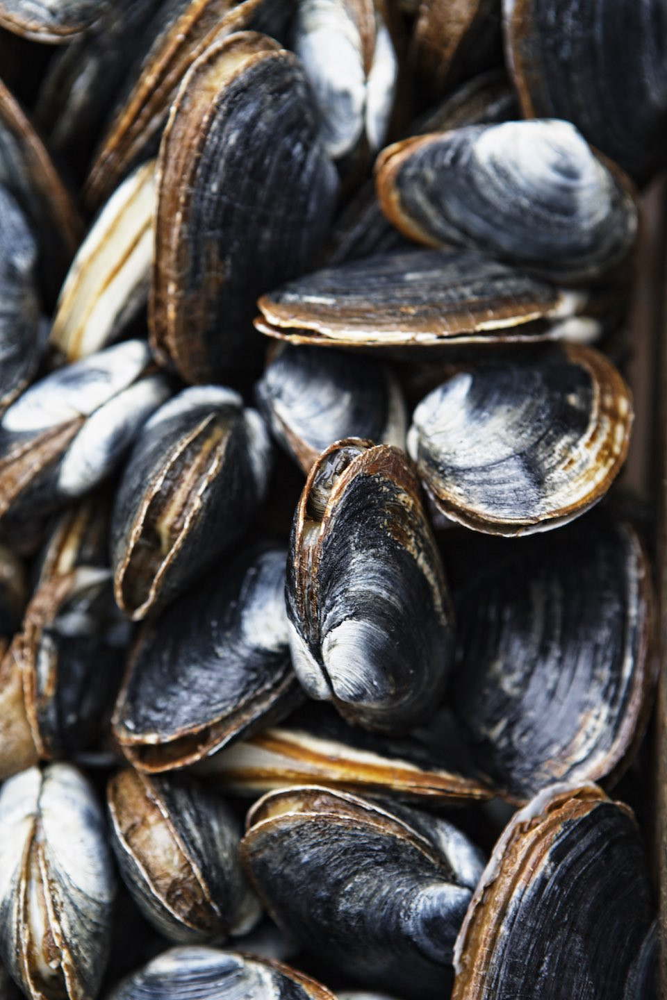 Freshly caught and rinsed harsh-shell clams.