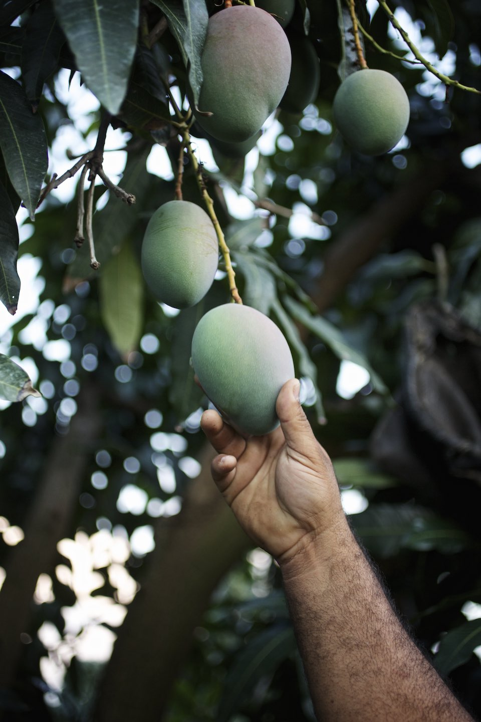 Hand reaching for a green, under-ripe mango in a tree.
