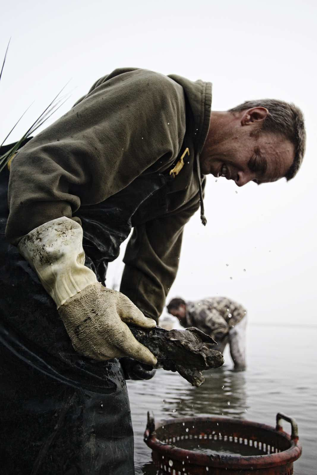 Fisherman wearing heavy gloves and collecting oysters.