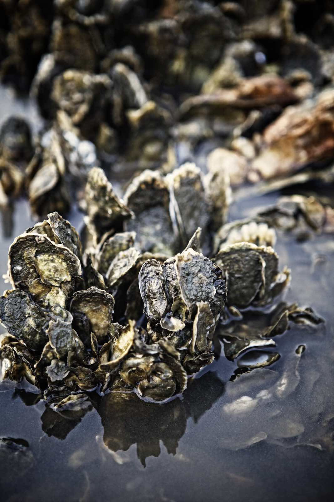 Jody Horton Photography - Collections of fresh oysters in clear water.