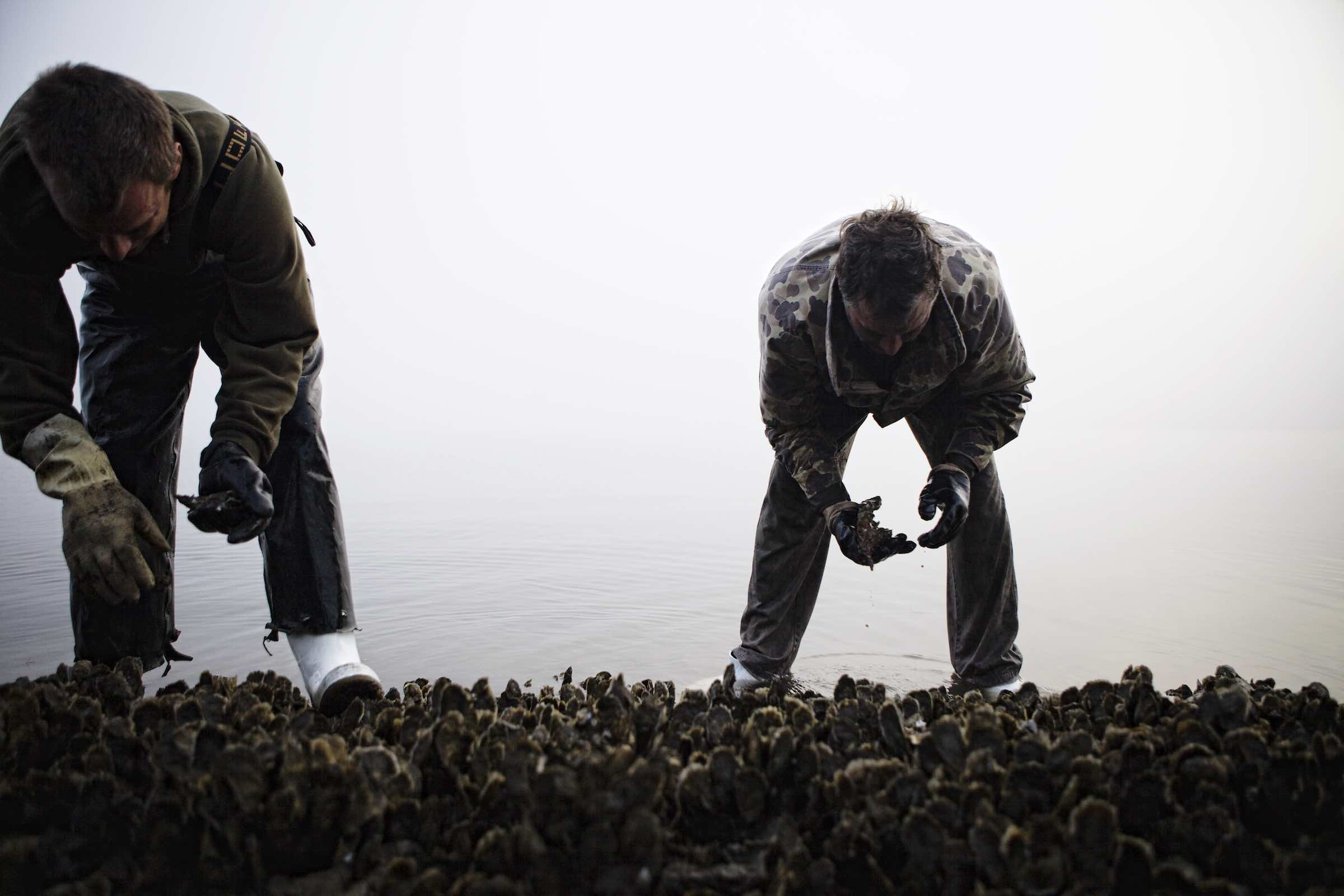 Jody Horton Photography - Fishermen inspecting oysters during harvest.