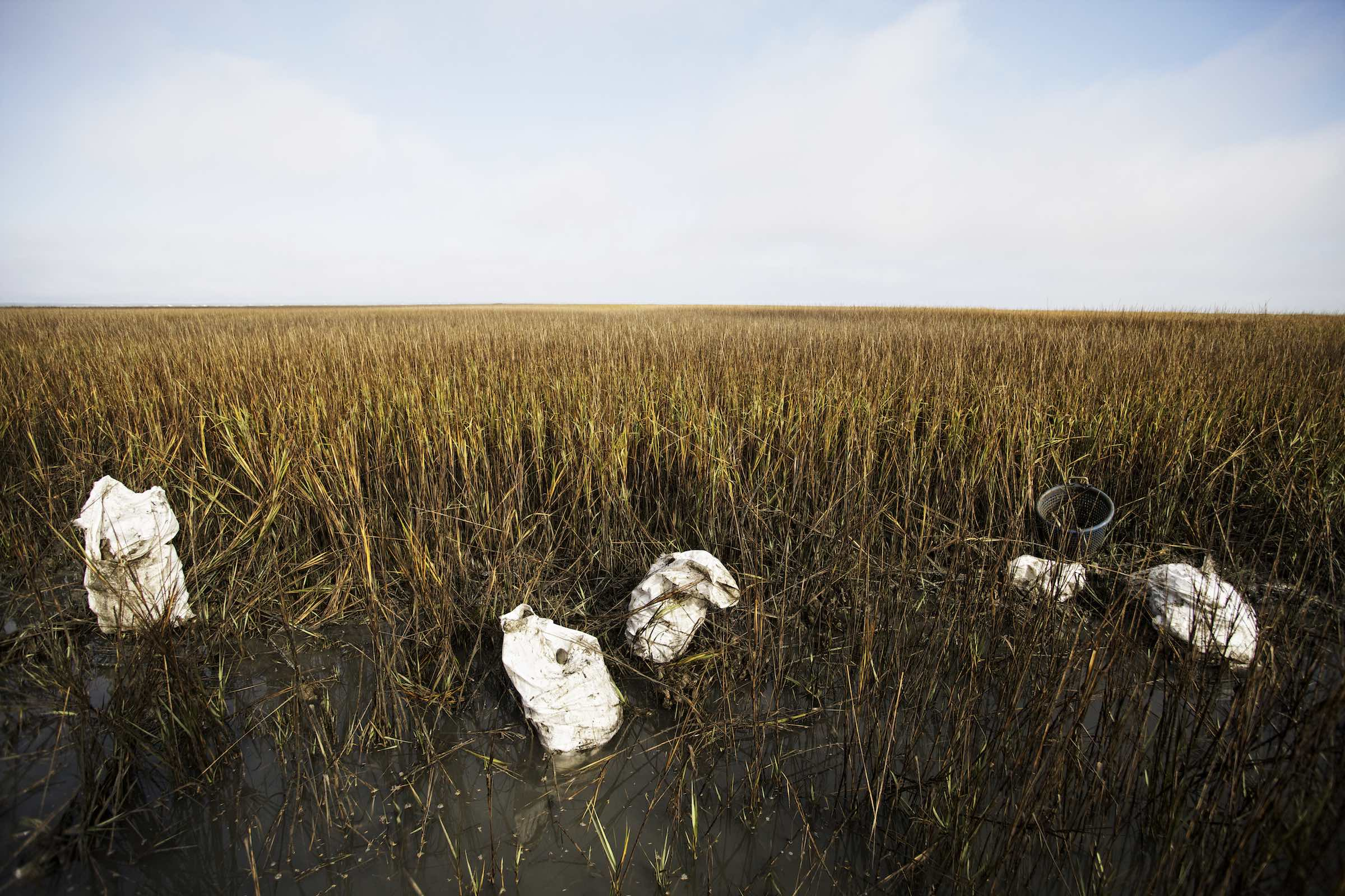Jody Horton Photography - Oysters collected in white sacks placed haphazardly in marsh grasses.
